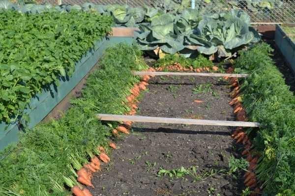 Морковь - одна в одну. Лучшая на высокой грядке, хоть и на обычной садили тот же сорт