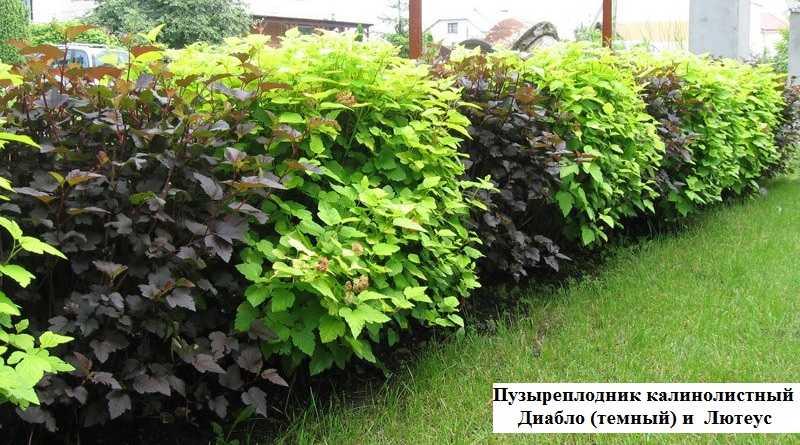Растения для живой изгороди фото и названия