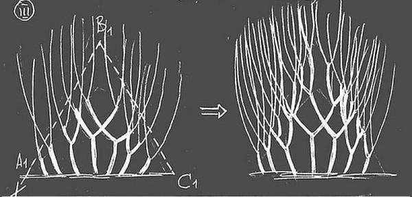 Третий этап формирования живой изгороди - выгонка в высоту
