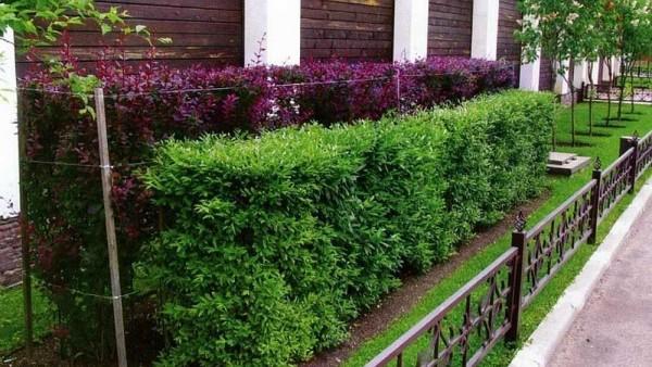 Двухрядная зеленая изгородь может быть и ступенчатой