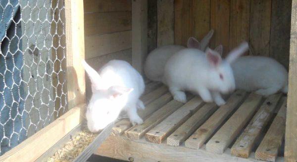 Пол в клетке для кроликов лучше сделать двойным - первый уровень из деревянных планок или металлической решетки