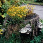 Чорнобривцы - неприхотливые цветы с длительным периодом цветения