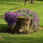 На высоком пне свисающие цветущие плети смотрятся замечательно