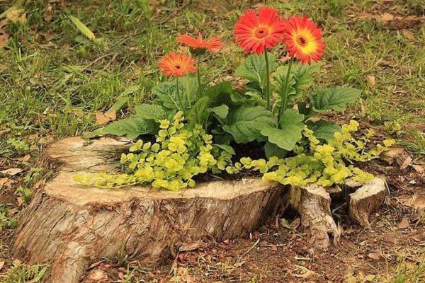 Шиповник с крупными цветами