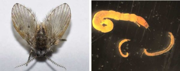 Бабочница и ее личинки (сильно увеличены)