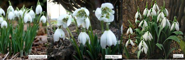 Подснежники - самые ранние цветы для дачи