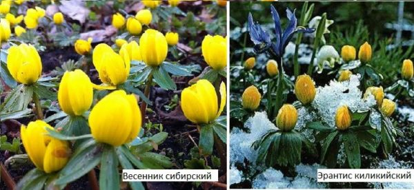Весенние цветы для дачи - неприхотливые, зимующие в открытом грунте