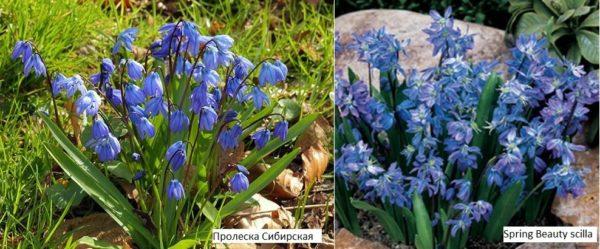 Голубым цветет другой вид подснежников Сцилла