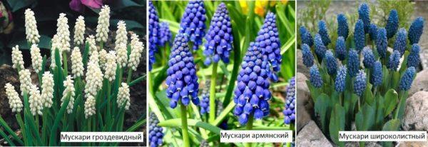 Мускари - многолетние луковичные цветы, которые цветут весной