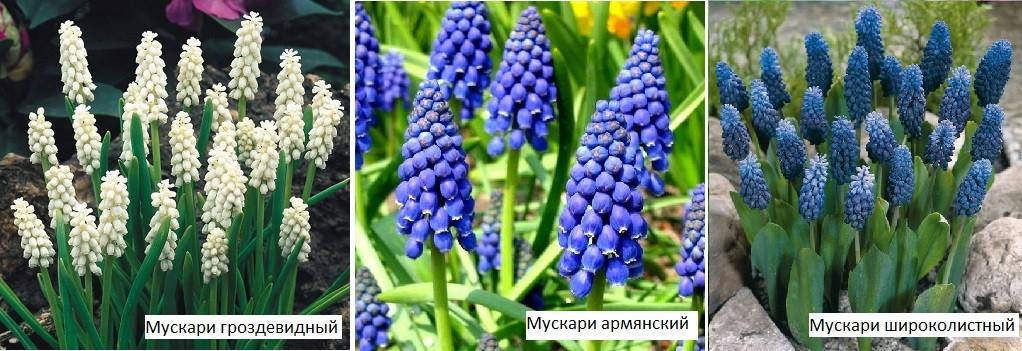 Цветы мускари многолетники