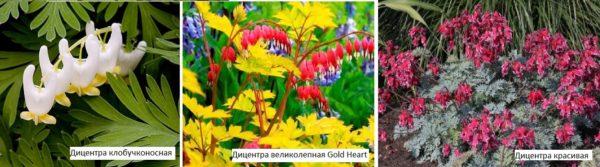 Очень необычная окраска и форма дали название этому растению - Разбитое сердце