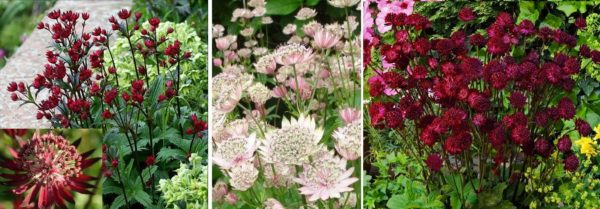 Астранция - красивые цветущие все лето цветы для дачи