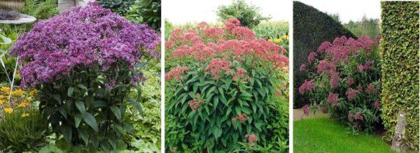Посконник - цветущее все лето высокое многолетнее растение