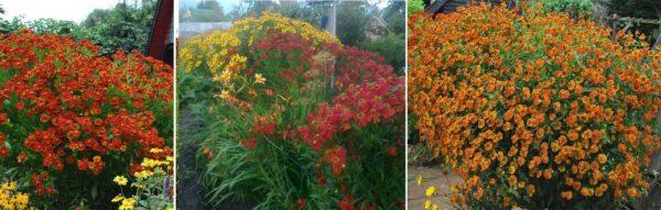 Гелениумы цветут в конце лета - начале осени