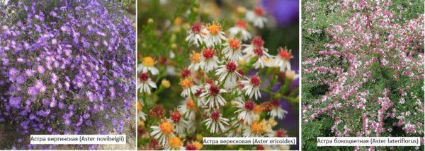 Многолетние астры - осенний цветок для дачи