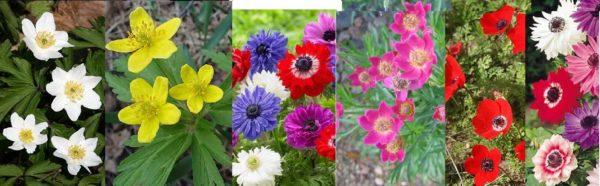 Анемоны - огромное количество цветов, форм