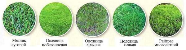 Выбор газонной травы широк, но используются чаще всего пять основных: