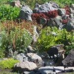 Вода, переливающаяся через край когда включена помпа, разведена по участку: сделали мини-ручейки, по краям которых посадили цветы. И мини-водоем дает жизнь теперь обширной площади, засаженной растениями