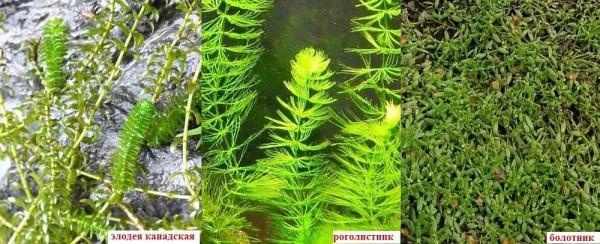 Эти растения обогащают воду кислородом