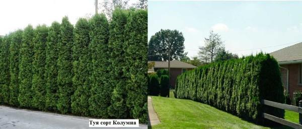 Туя зеленеет и зимой и летом