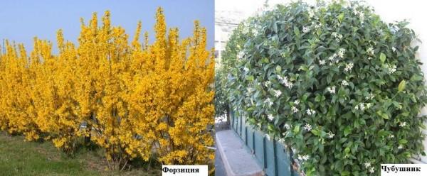 Форзиция весной цветет очень красиво и обильно, потом обрастает плотной удлиненной листвой. Чубушник не столь декоративен в цвету, но лист у него глянцевый
