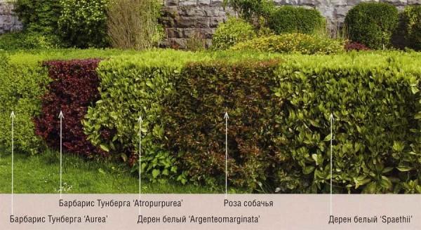 Можно сделать комбинированную изгородь из разных растений