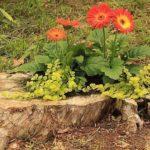 В низких пнях садят несколько растений с декоративной листвой и один-два цветка с крупными яркими цветами