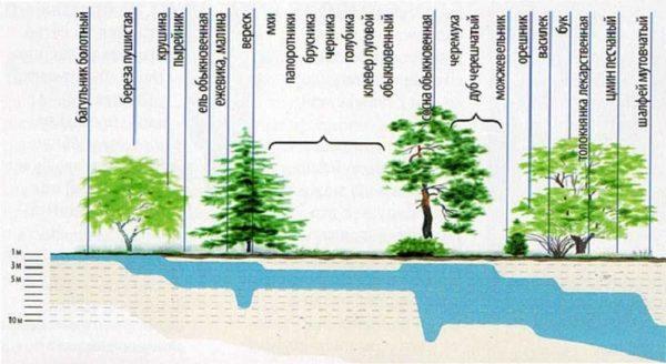 Определяем глубину залегания подземных вод по растениям
