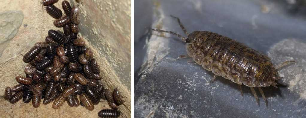 Эти насекомые в ванной - частые гости. Называются мокрицы