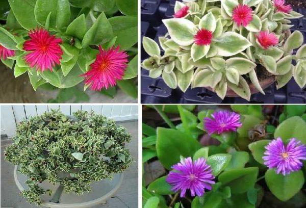 Аптения (Aptenia) может с успехом выращиваться в вазе