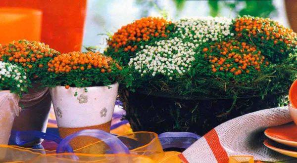 Коралловый мох или Нертера (Nertera). Это растение может быть украшением, но в банке или шаре тяжело добиться появления ягодок