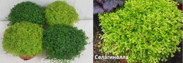 Еще два растения, которые могут заменить мох во флорариуме