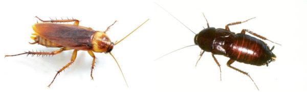 тараканы прусак и черный