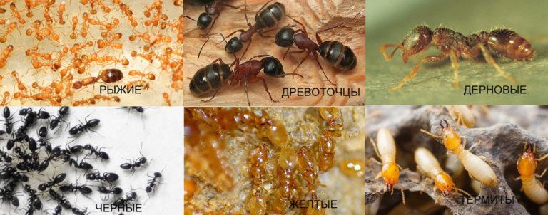 Виды муравьёв